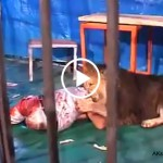 Lion-attack-on-his-instructor