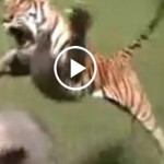 Tigers Attack on Human Very Dangerous Animals Compilation