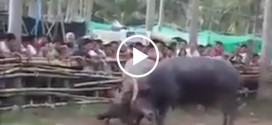 Dangerous Bull Fighting
